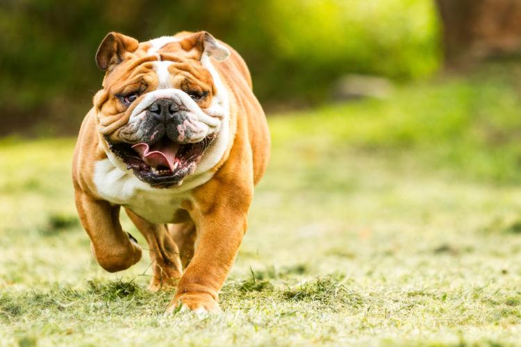 犬の口唇裂(こうしんれつ)【発症しやすい犬種】