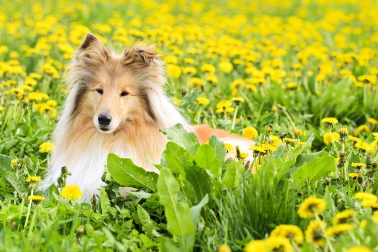 【獣医師監修】賢いラフ・コリーの特徴と魅力「世界中で大ブームになった名犬ラッシー」