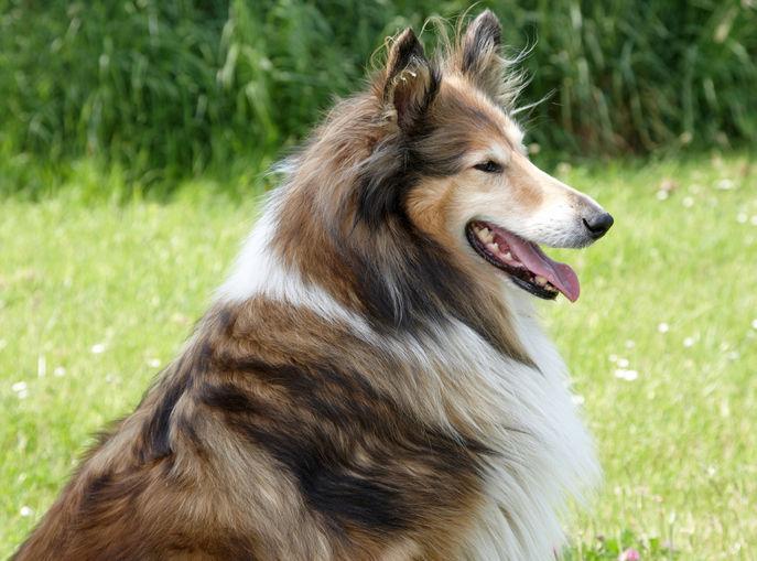ラフ・コリーの「特徴」フサフサとした被毛の高貴な犬種