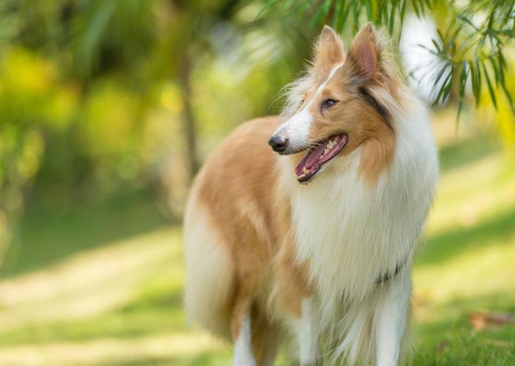 ラフ・コリーの「歴史」イギリス貴族から愛された犬種