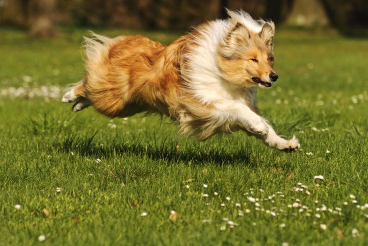 愛情深いラフ・コリーが登場する「名犬ラッシー」の物語