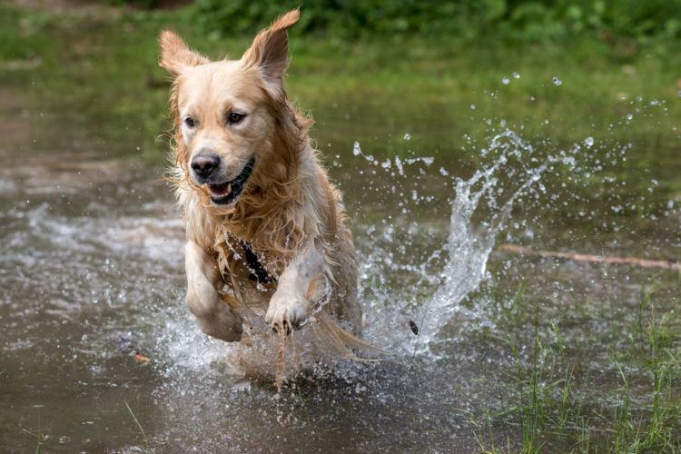 【獣医師監修】「犬のレプトスピラ症」原因や症状、なりやすい犬種、治療方法は?