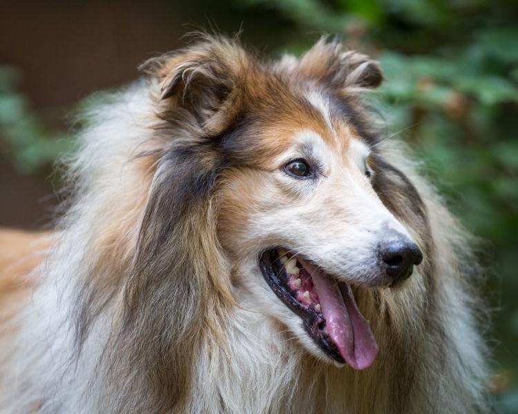 「名犬ラッシー」の物語