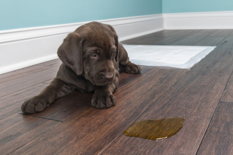 【獣医師監修】愛犬がせっかくトイレを覚えたのに、急に失敗する原因や理由、対処法は!?