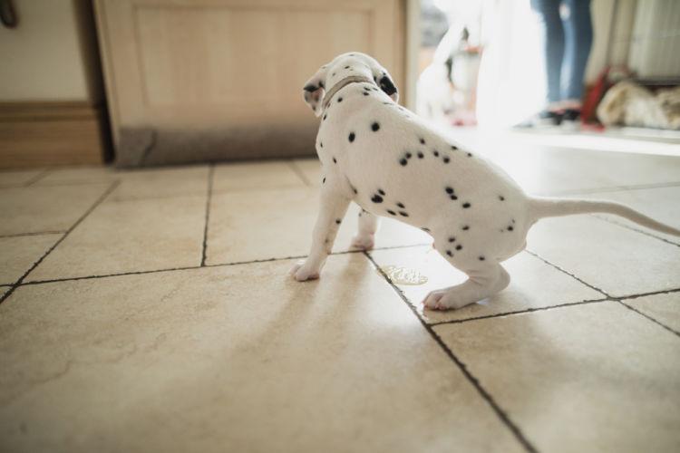 「犬のトイレの失敗」【犬の性成熟(生理など)】を理解しよう!