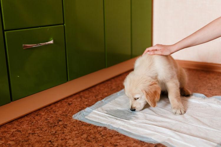 「犬のトイレの失敗」【トイレのトレーニング(しつけ)】適切な時期とは?