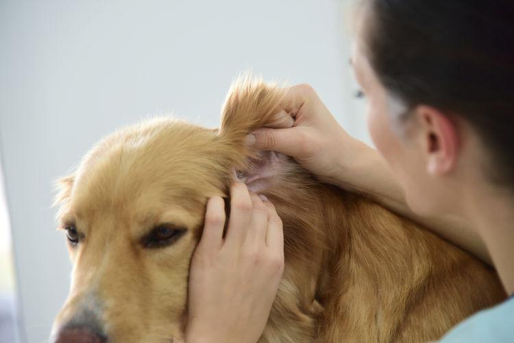 犬の内耳炎