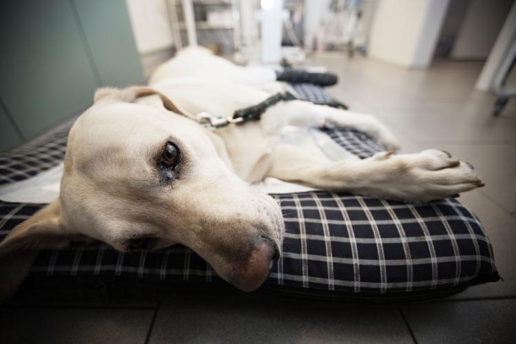 犬がぐったりしている【この症状で考えられるおもな病気】