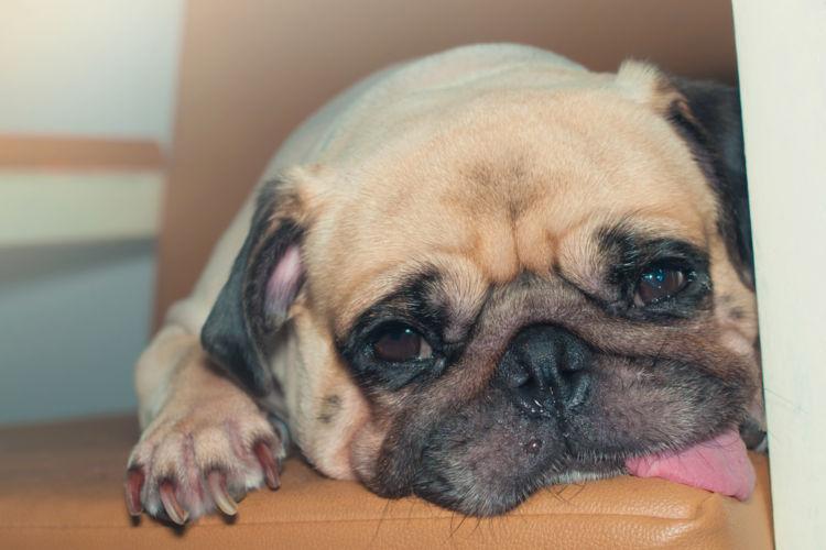 犬の卵胞嚢腫(らんぽうのうしゅ)