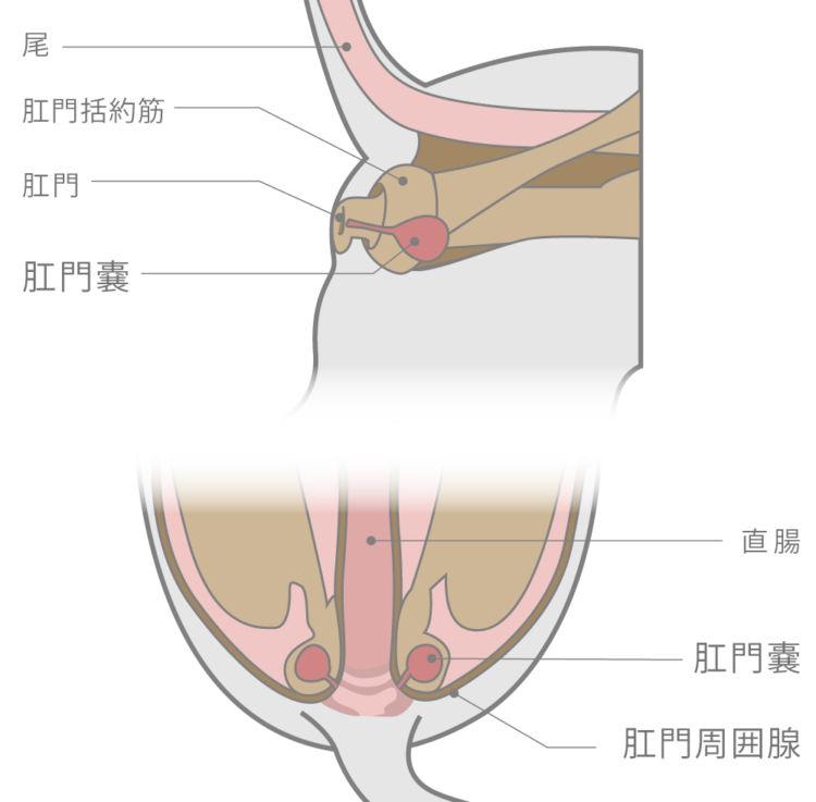 「肛門腺」や「肛門嚢」の炎症