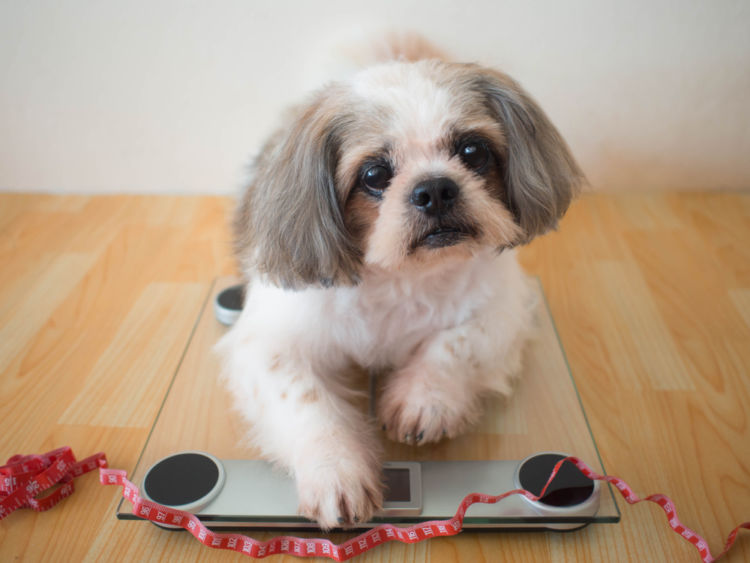 【獣医師監修】犬の体重が減少している。考えられる原因や症状、おもな病気は?
