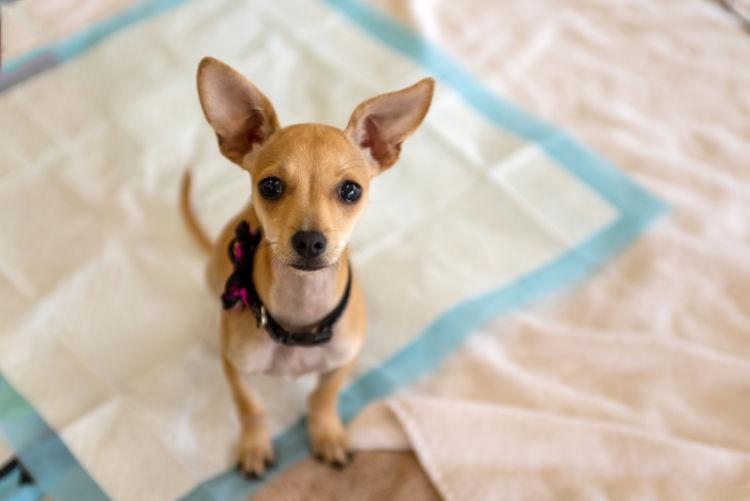 犬の消化管内寄生虫症