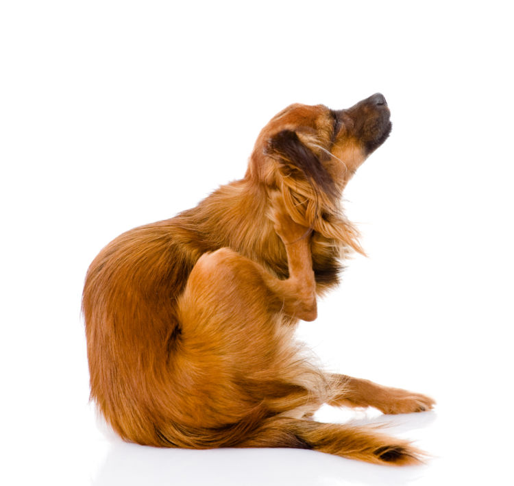 犬の耳垢が黒い【この症状で考えられるおもな病気】