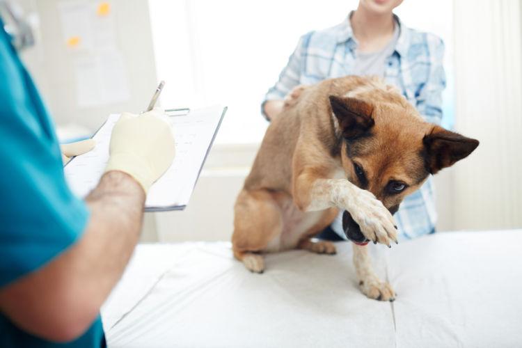 犬の表在性膿皮症
