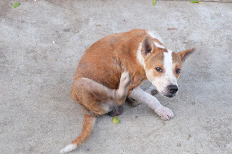 犬の疥癬(ヒゼンダニ症)