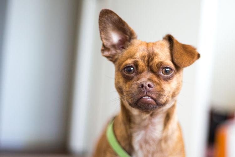 【獣医師監修】犬の耳が下がっている。考えられる原因や症状、おもな病気は?