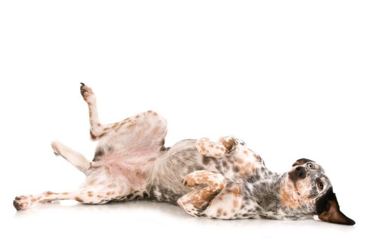 犬のお腹が黒ずんでいる【考えられる原因】