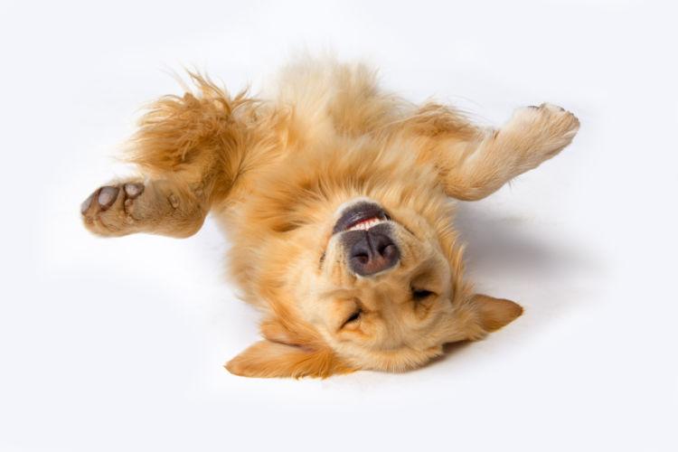 犬の股関節脱臼【発症しやすい犬種】