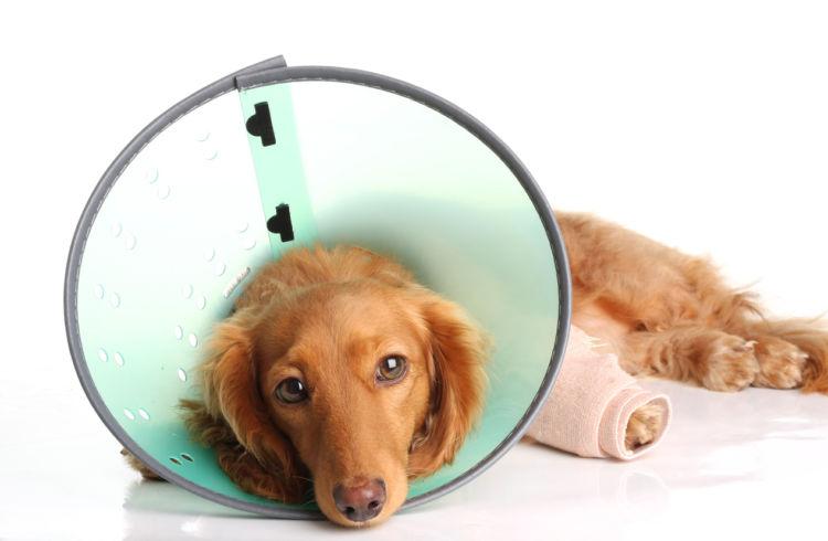 犬の股関節脱臼【間違えやすい病気】