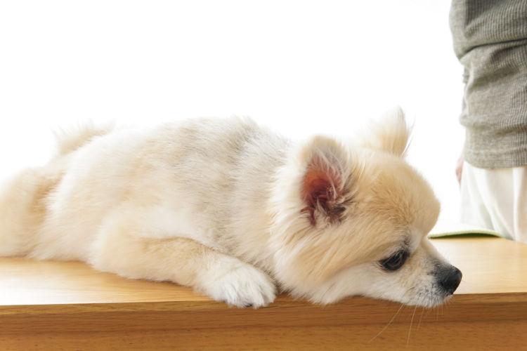 【犬の膝蓋骨脱臼グレード3】頻繁に外れる、外れる時に痛みがあることも