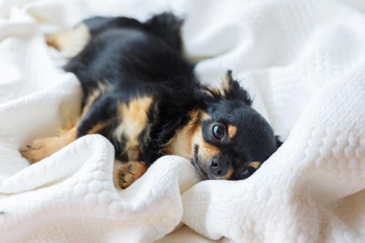 犬の脱臼【発症しやすい犬種】