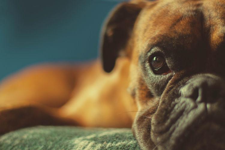 【獣医師監修】「犬の肥満細胞腫」原因や症状、なりやすい犬種、治療方法は?