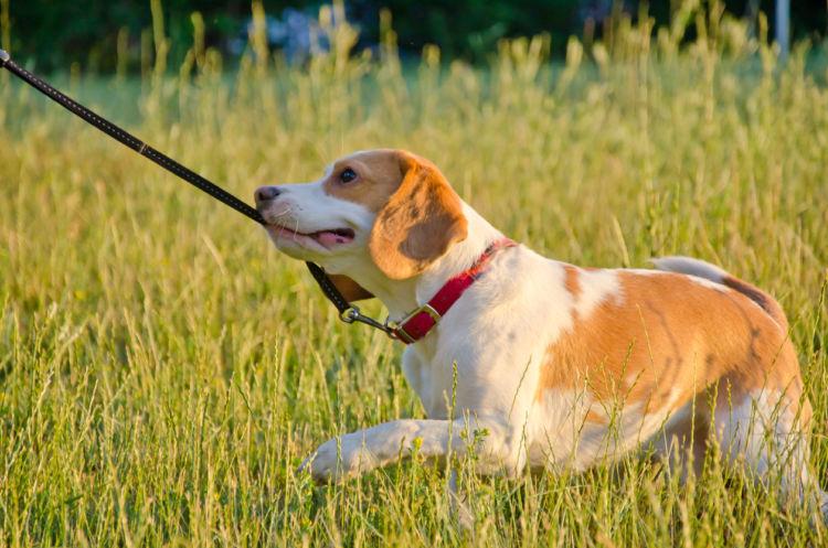 【獣医師監修】犬は散歩好きじゃないの!?犬が散歩を嫌がる3つの原因と理由、対処方法!