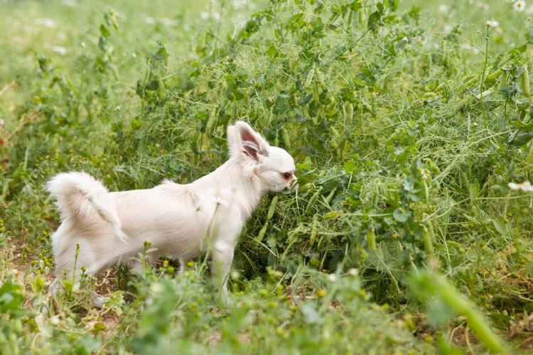 なぜ、犬は草を食べたがる?草の代わりは?