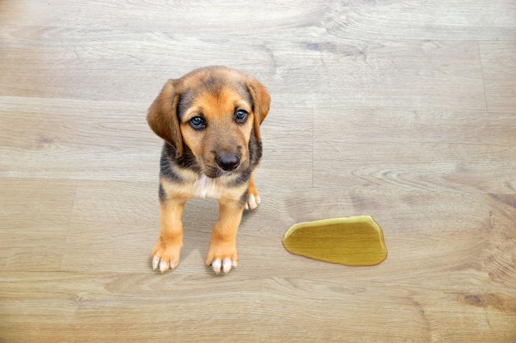 【獣医師監修】家の中でもおしっこ連発!愛犬が室内マーキングする2つの原因と防止対策!