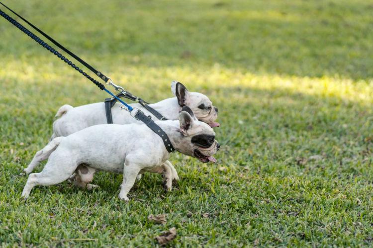 犬の散歩中の「引っ張り癖」【理由】
