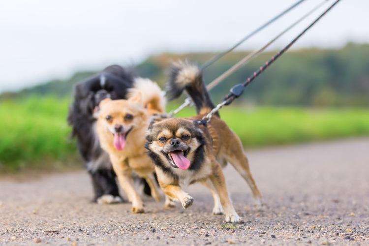 【獣医師監修】犬が散歩中にリードを引っ張る理由は!?引っ張り癖の直し方や対策方法!