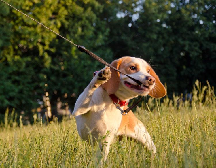 犬の散歩中の「引っ張り癖」【危険】【トラブル】