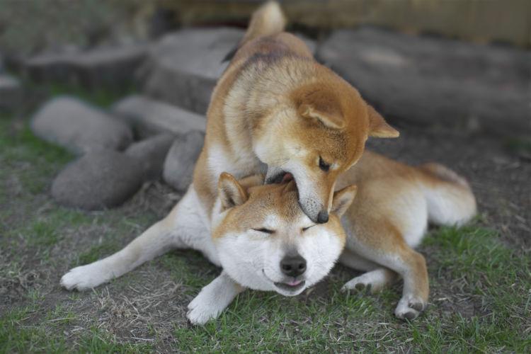 犬同士の喧嘩(多頭飼い)①【遊びの延長が多い】遊んでいるだけ