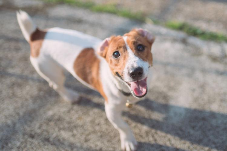 【獣医師監修】「犬は飼い主にしゃべりかけている!?」犬の鳴き声(遠吠え)の意味や種類は?