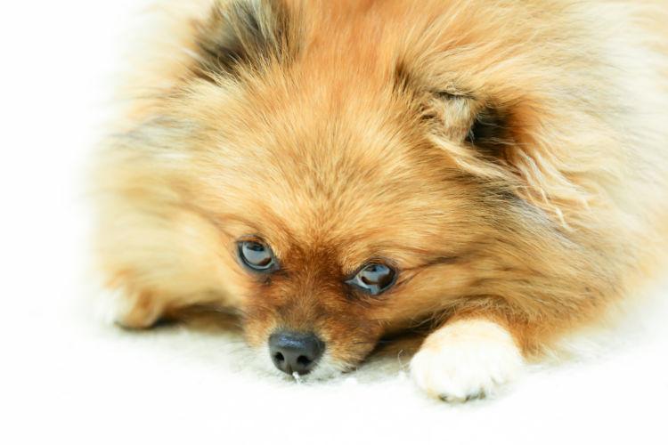 【獣医師監修】犬が泣くのは悲しいから!?犬の涙に隠された意外な事実!泣く理由と原因は?