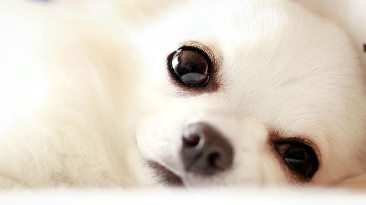 痛みが生じた犬の眼