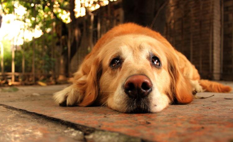 犬が涙を流していたら、こんなことに注意しよう!