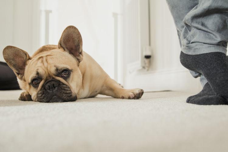 【獣医師監修】犬の分離不安症!?いつも後ろにくっついてくる。飼い主から離れない4つの理由!