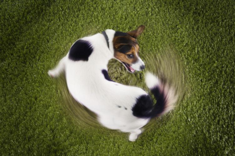 犬がしっぽを追いかける【考えられる原因】
