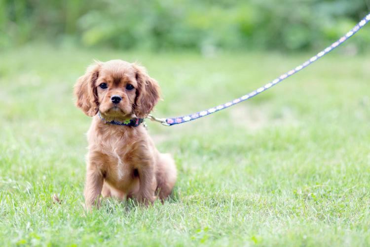 【獣医師監修】犬が散歩で歩かない原因や理由は!?愛犬が散歩を大好きになるしつけ方法!