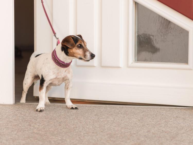 「犬が散歩で歩かない」【リード】が嫌い!