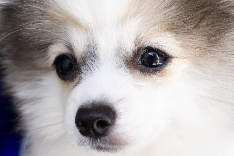 【獣医師監修】犬の涙や目やにの原因と理由は老化!?角膜炎や結膜炎、涙やけに要注意!