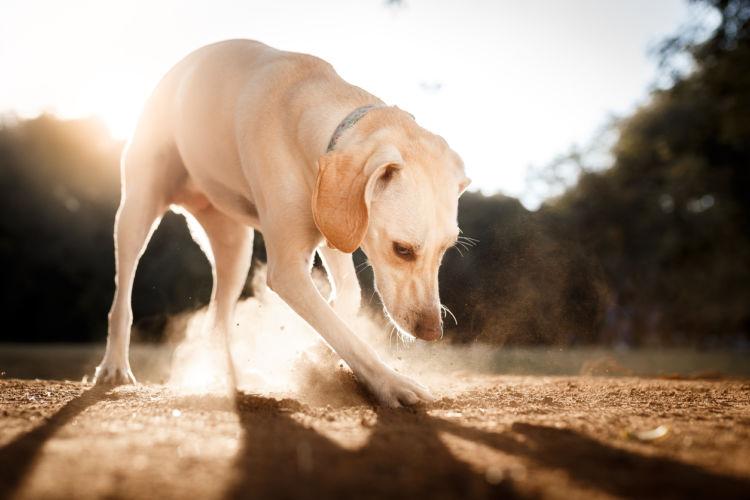 犬の穴掘り行動【理由①】「本能」「遊び」