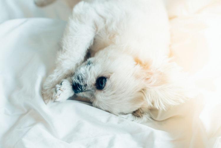 寝る前に布団を掘る犬