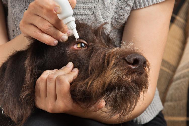 犬の目に入ったゴミや毛【精製水】【目薬】を使用する!