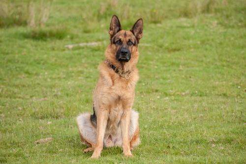 ジャーマンシェパードの性格~賢く従順、仲間を守る番犬気質