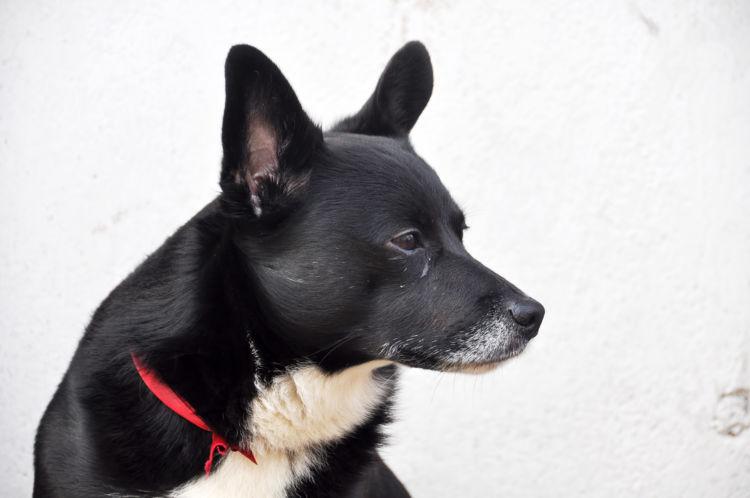 犬の目やにの色【白、グレー】の場合