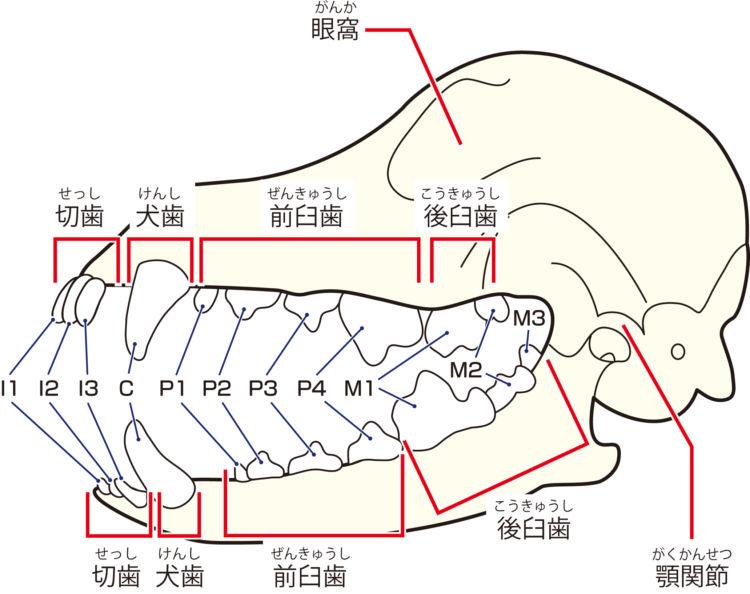 犬の歯の構成と並び