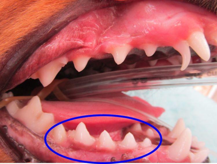 犬の過剰歯(二重歯)・欠歯(足りない)【症状】