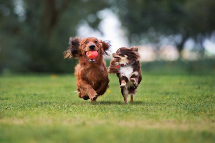 犬の変形歯(へんけいし)【なりやすい犬種】